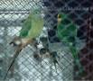 Barabant vagy sargatorkú papagaj