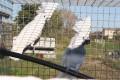 Fehérbóbitás kakadu (Cacatua alba)