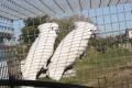 Fehérbóbitás kakadu