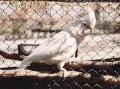 Goffini kakadu