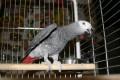 Jákó papagáj (Psittacus erithacus)