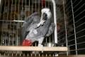Jákó papagáj