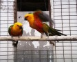 Jandaya papagáj (Aratinga jandaya)