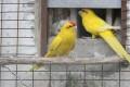 Kecske papagáj pár