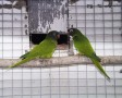Kékfejű aratinga (Kékfejű ékfarkú papagáj. Aratinga acuticaudata)