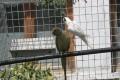Olív kissándor papagáj hím