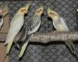 Nimfa papagájok