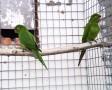 Pavua papagaj pár