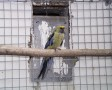 Szalma pennant papagáj