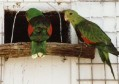 Vörös- vagy pirosszárnyú papagáj