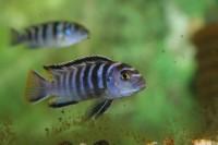 Nyasszai karcsúsügér ( Elongatus ) 2-4 cm-es