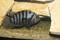 Zebrasávos sügér 2-4 cm-es