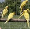 Kis sándor papagájok sárgák