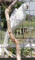 Kis sándor papagáj fehér