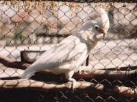 Goffini kakadu ivarérett