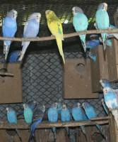 Hullámos papagájok