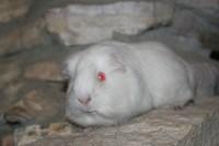 Tengerimalac  fehér