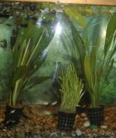 Akváriumi vizi növények