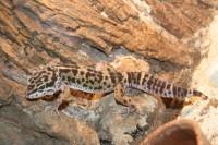 <b>Leopárd gekko </b>
