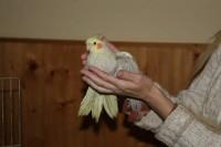 Nimfa papagájok kezesek